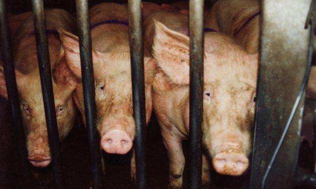 Un homme met le feu à un abattoir pour libérer les cochons