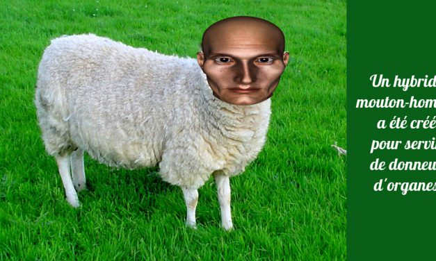 Un hybride mouton-homme a été créé pour servir de donneur d'organes (Actu)