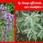 La Sauge : de nombreux bienfaits et une saveur typique